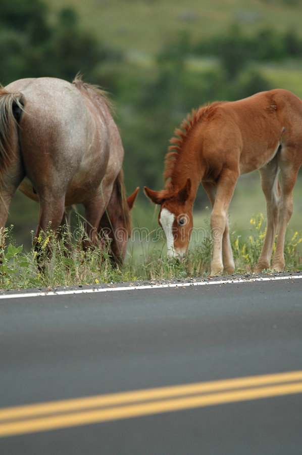 Download Wild Horses stock image. Image of visit, parks, cross - 2251641
