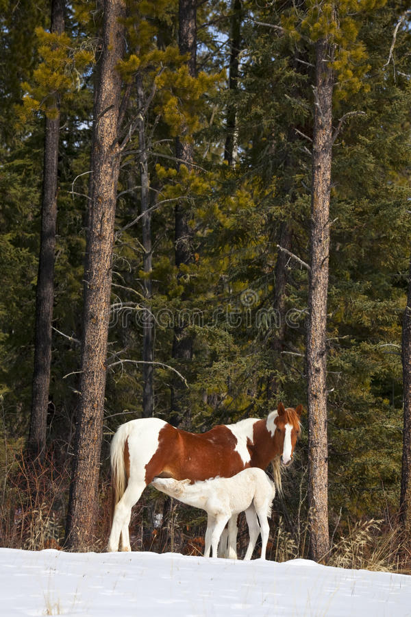 Download Wild Horses Royalty Free Stock Images - Image: 23629559