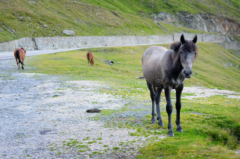 Download Wild horses stock image. Image of mountain, horse, grey - 28175423