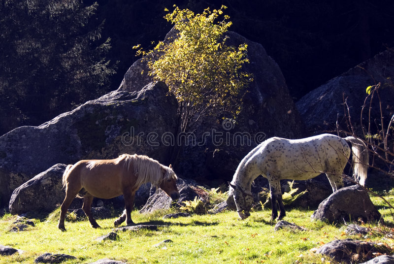 Wild horses. Three nice wild horse in mountain stock images