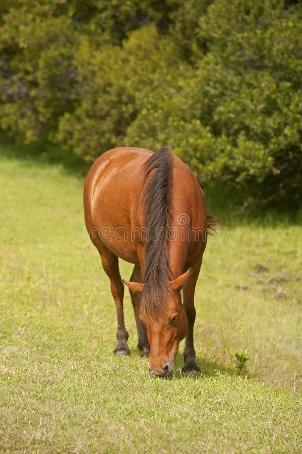 Download Wild Horses Of Assateague Island Stock Photo - Image: 20912804