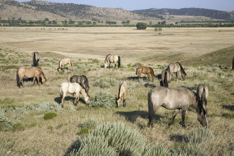 Download Wild Horses At The Black Hills Stock Image - Image: 27073593