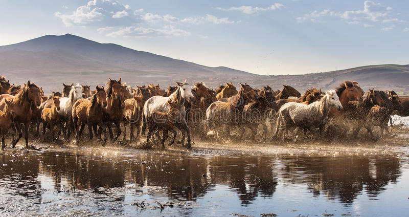 Wild horses of Cappadocia at sunset with beautiful sands, running and guided by a cawboy.  royalty free stock photography