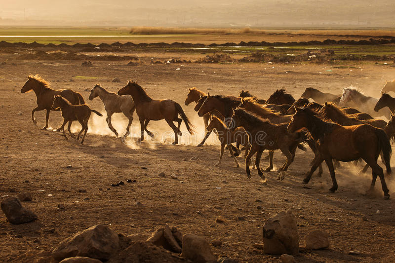 Wild horses of Cappadocia at sunset with beautiful sands, running and guided by a cawboy.  stock photography