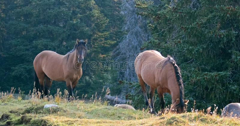 Wild Horses - Coyote Dun stallion alongside grazing Buckskin Dun mare in the Pryor Mountains Wild Horse Range in Montana USA. Wild Horses - Coyote Dun stallion royalty free stock photo