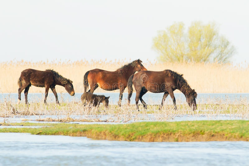 Wild horses in the Danube Delta, Romania stock photo