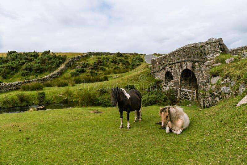 Wild horses in Dartmoor royalty free stock image