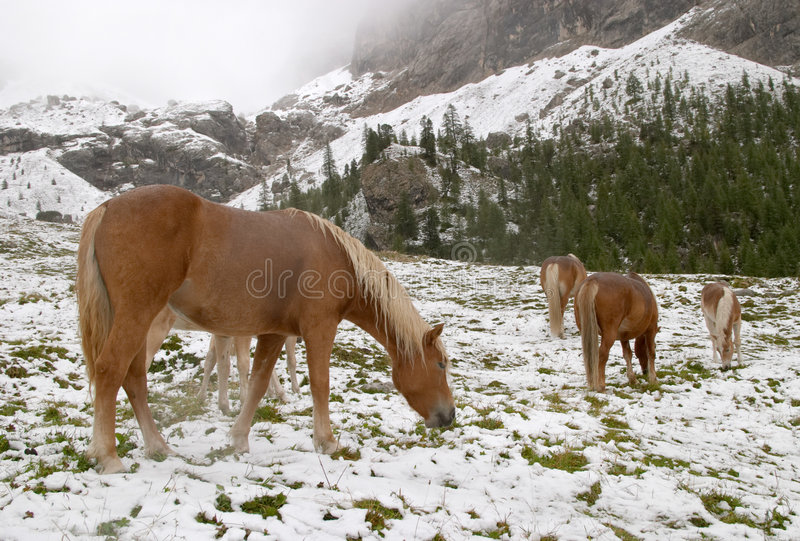 Wild horses in Dolomite Mountains stock images