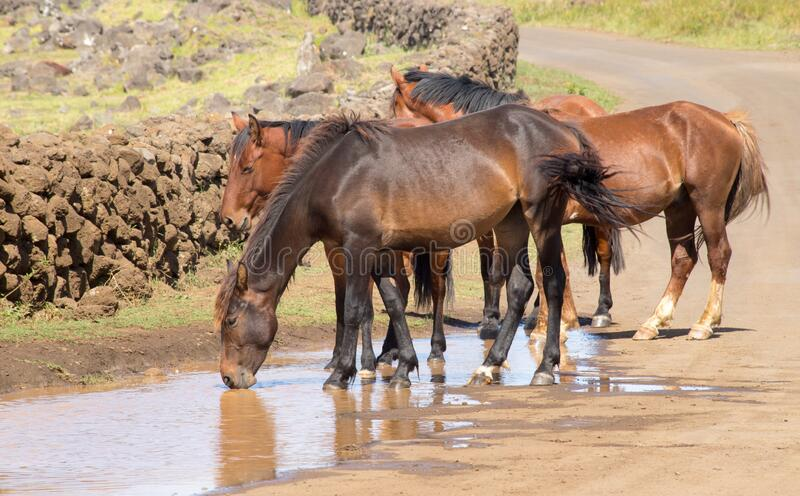 Wild horses drinking in a puddle of water along a road in the interior of Easter Island, Chile.  royalty free stock image