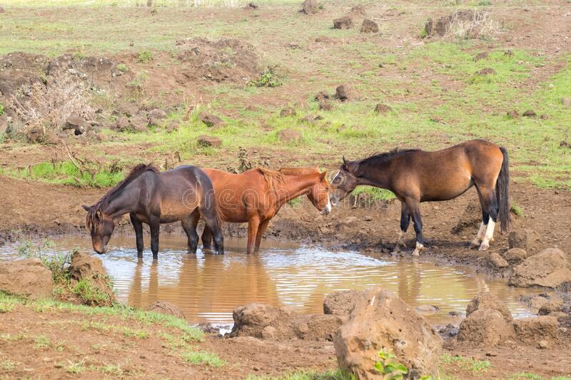 Wild horses drinking in a puddle of water along a road in the interior of Easter Island, Chile.  royalty free stock photos