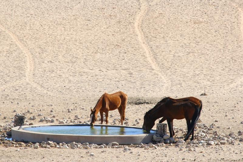 Wild horses drinking water hole Namibia, Africa stock images