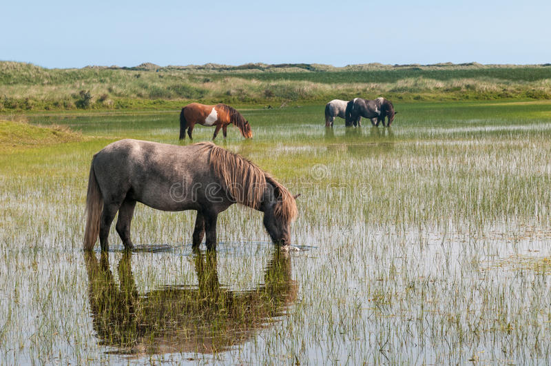 Wild horses in the dunes of Ameland in the Netherlands stock images