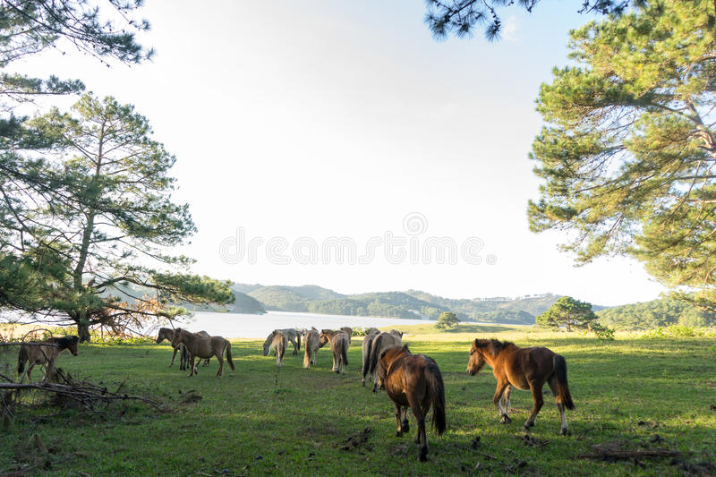 Wild horses eat the glass by the lake. Wild horse on pink glass fiield, the field near by Lake, in the weeken some people camping here - DALAT, VIETNAM royalty free stock photography