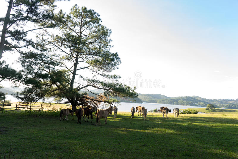 Wild horses eat the glass by the lake. Wild horse on pink glass fiield, the field near by Lake, in the weeken some people camping here - DALAT, VIETNAM royalty free stock image