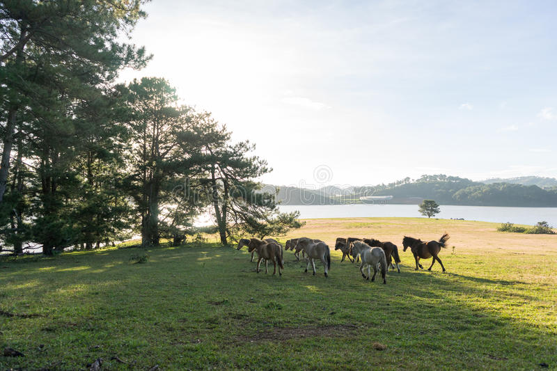Wild horses eat the glass by the lake. Wild horse on pink glass fiield, the field near by Lake, in the weeken some people camping here - DALAT, VIETNAM royalty free stock photos