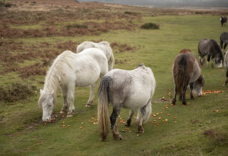 Wild horses eating chopped up raw vegetables royalty free stock photo