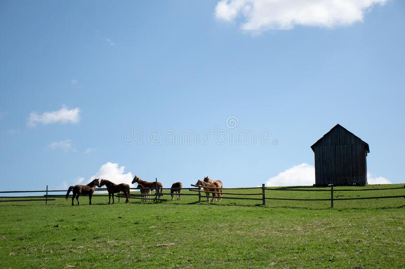 Wild horses at the mountains. Wild horses at the field blue background royalty free stock photo