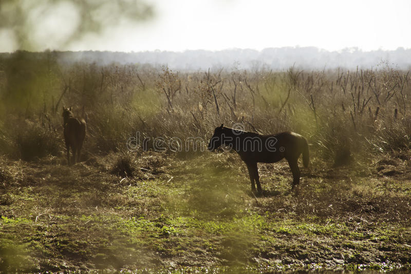 Download Wild Horses in Florida stock photo. Image of horses, florida - 83705022