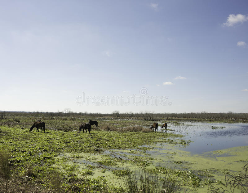 Download Wild Horses in Florida stock photo. Image of paynes, florida - 83724812