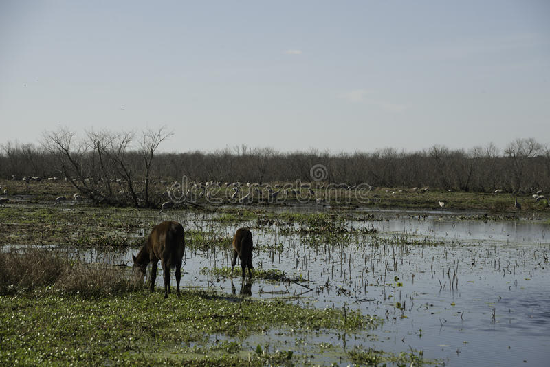 Download Wild Horses in Florida stock photo. Image of chua, trail - 83724826