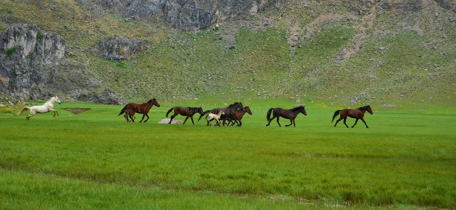 Wild horses and freedom. Horse herd in mountain areas.Galloping horses.wild horses.nfreedom horses royalty free stock image