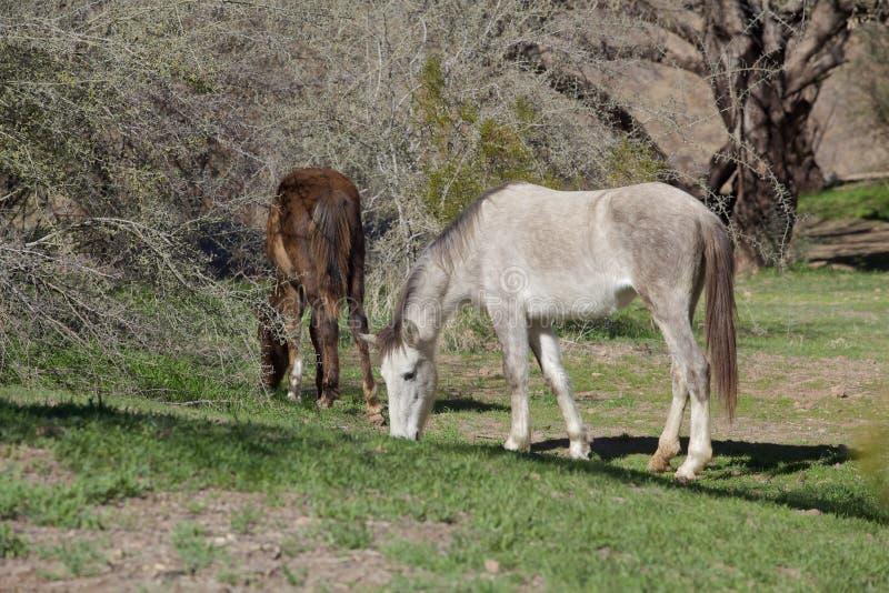 Download Wild Horses Grazing stock image. Image of saltriver, desert - 37092057