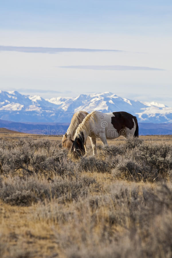 Download Wild Horses Grazing In Wyoming Desert Stock Image - Image: 26956537