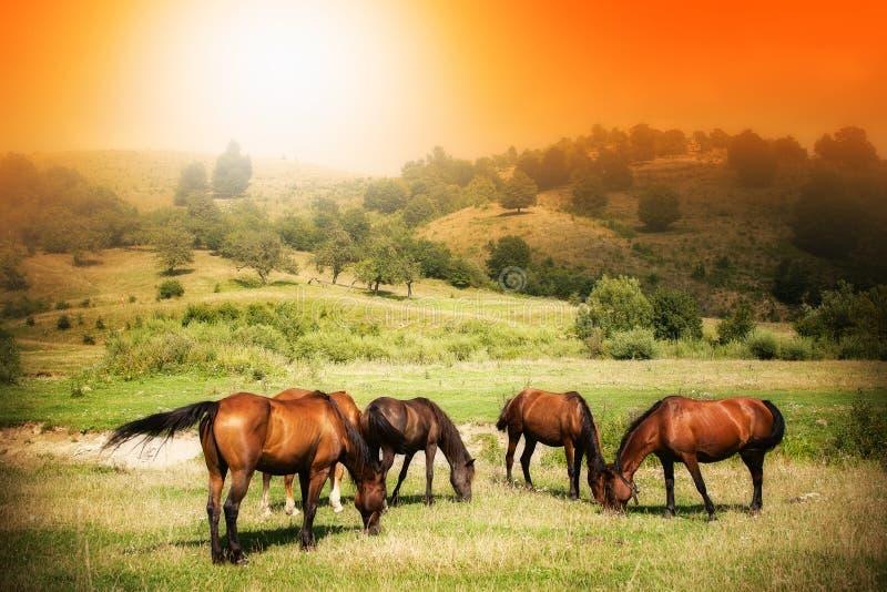 Wild horses on green field and sunny sky. Wild horses on green field and sunny orange sky royalty free stock photos