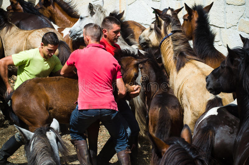 Download Wild horses editorial photography. Image of rapa, das - 30937212
