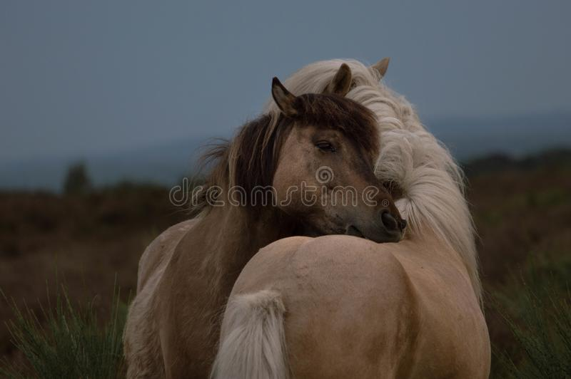 2 wild horses hugging stock images