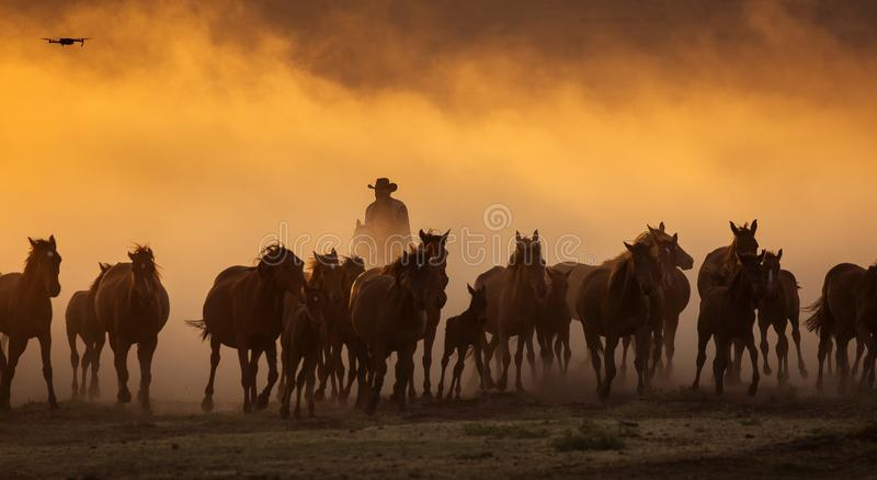 Wild horses leads by a cowboy at sunset with dust in background.  stock image