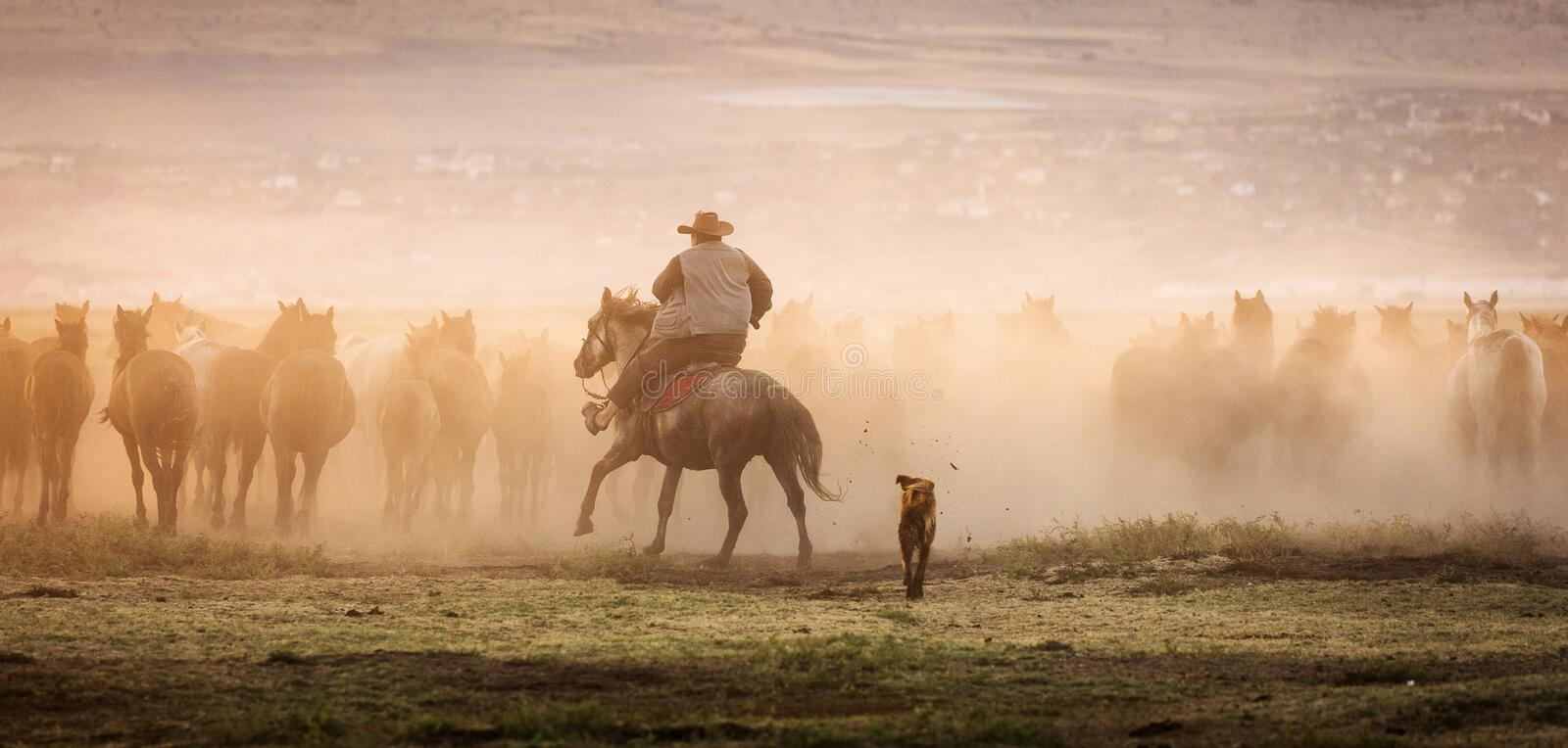 Wild horses leads by a cowboy at sunset with dust in background.  royalty free stock photo