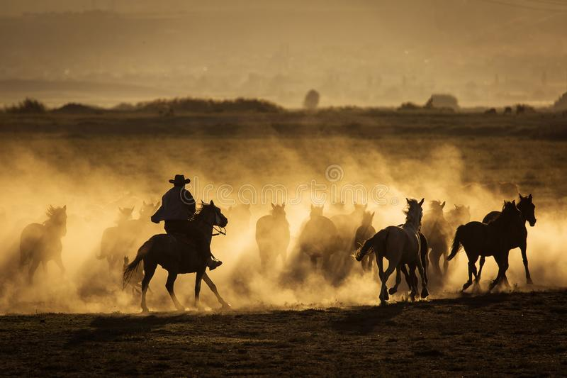 Wild horses leads by a cowboy at sunset with dust in background.  royalty free stock photos