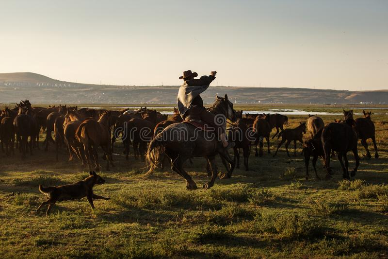 Wild horses leads by a cowboy at sunset with dust in background.  royalty free stock images