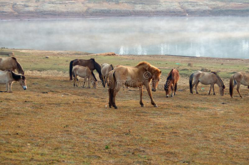 Wild horses and pony live in the meadow steppes, in the lake, royalty free stock photos