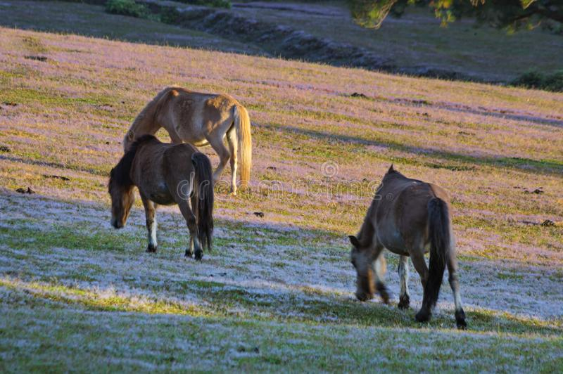 Wild horses live in the pink meadow steppes part 16. Wild horses live in the pink meadow steppes, not yet thoroughbred and living on the plateau at sunrise stock photography
