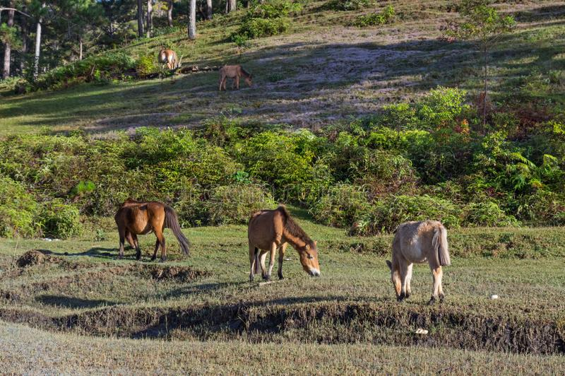 Wild horses live in the pink meadow steppes part 4. Wild horses live in the pink meadow steppes, not yet thoroughbred and living on the plateau at sunrise. Photo stock photography