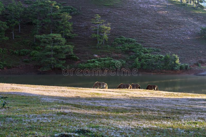 Wild horses live in the pink meadow steppes part 15. Wild horses live in the pink meadow steppes, not yet thoroughbred and living on the plateau at sunrise stock photo