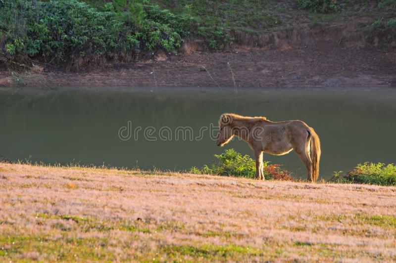 Wild horses live in the pink meadow steppes part 12. Wild horses live in the pink meadow steppes, not yet thoroughbred and living on the plateau at sunrise stock images
