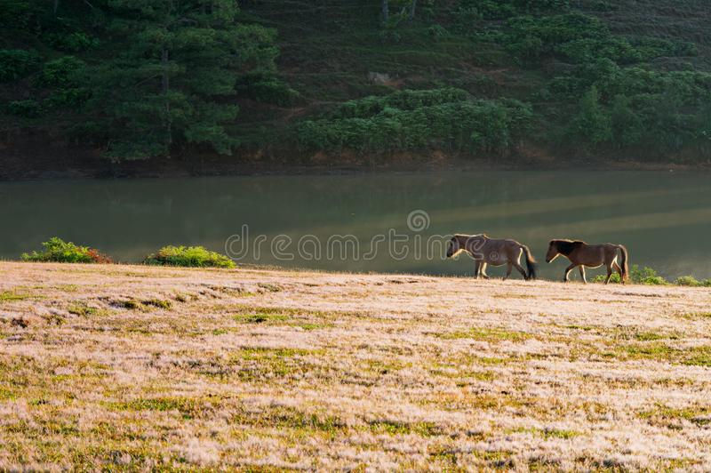 Wild horses live in the pink meadow steppes part 10. Wild horses live in the pink meadow steppes, not yet thoroughbred and living on the plateau at sunrise stock image