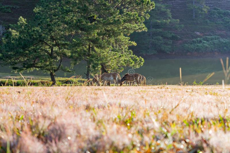 Wild horses live in the pink meadow steppes part 8. Wild horses live in the pink meadow steppes, not yet thoroughbred and living on the plateau at sunrise. Photo stock photo