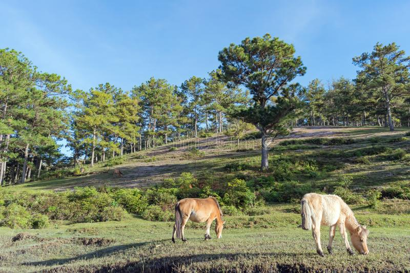 Wild horses live in the pink meadow steppes part 22. Wild horses live in the pink meadow steppes, not yet thoroughbred and living on the plateau at sunrise stock image