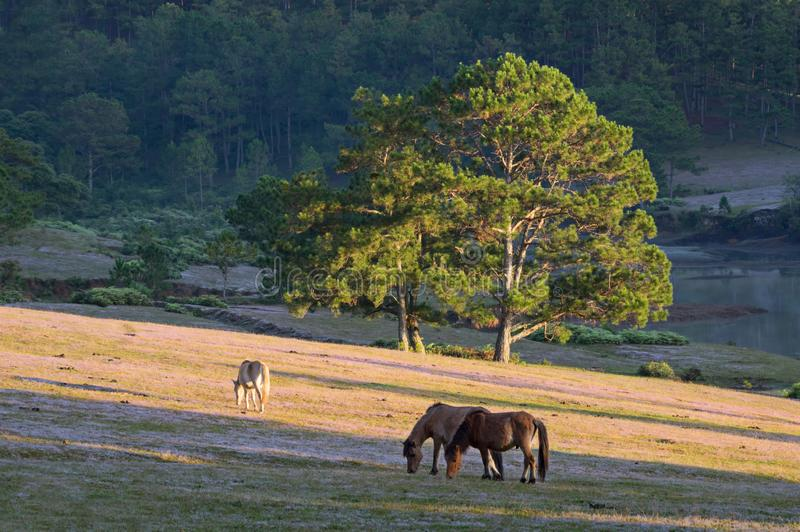 Wild horses live in the pink meadow steppes part 17. Wild horses live in the pink meadow steppes, not yet thoroughbred and living on the plateau at sunrise royalty free stock photography