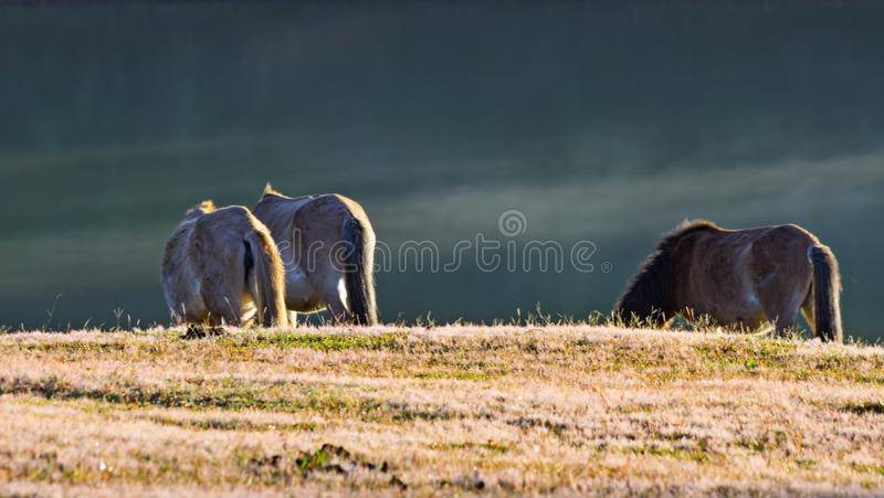 Wild horses live in the pink meadow steppes part 13. Wild horses live in the pink meadow steppes, not yet thoroughbred and living on the plateau at sunrise royalty free stock photography