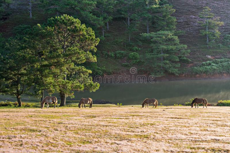 Wild horses live in the pink meadow steppes part 9. Wild horses live in the pink meadow steppes, not yet thoroughbred and living on the plateau at sunrise. Photo royalty free stock photos