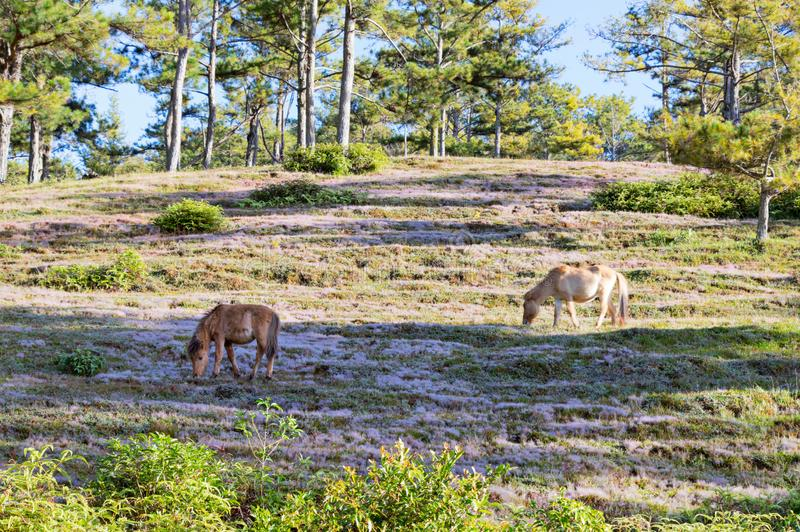 Wild horses live in the pink meadow steppes part 2. Wild horses live in the pink meadow steppes, not yet thoroughbred and living on the plateau at sunrise. Photo stock images