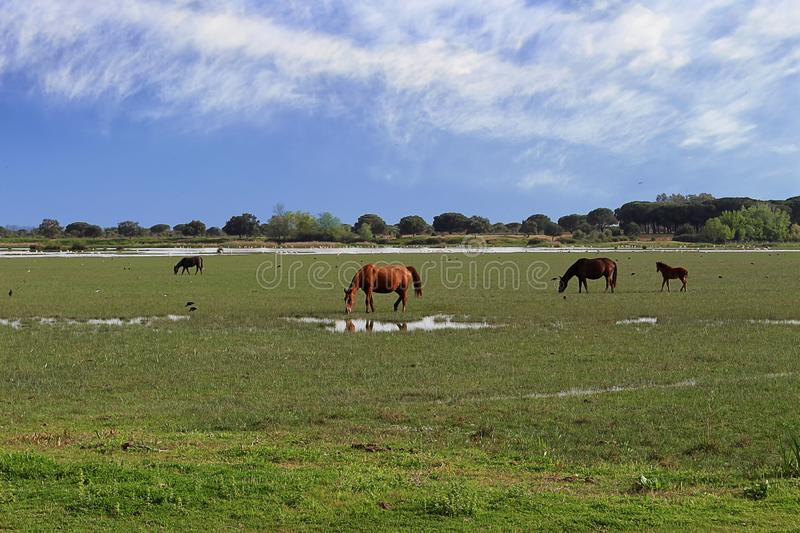 Wild horses in the Marismas village of El Rocío, Andalusia in the South West of Spain. Wild breed of horse indigenous to the marshes, in the marshes of the Do stock image