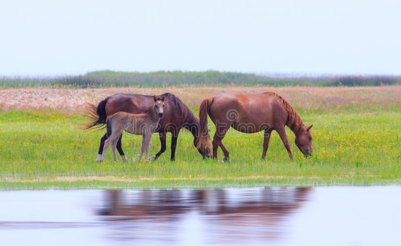 Wild Horses On A Meadow In Summer Stock Photography