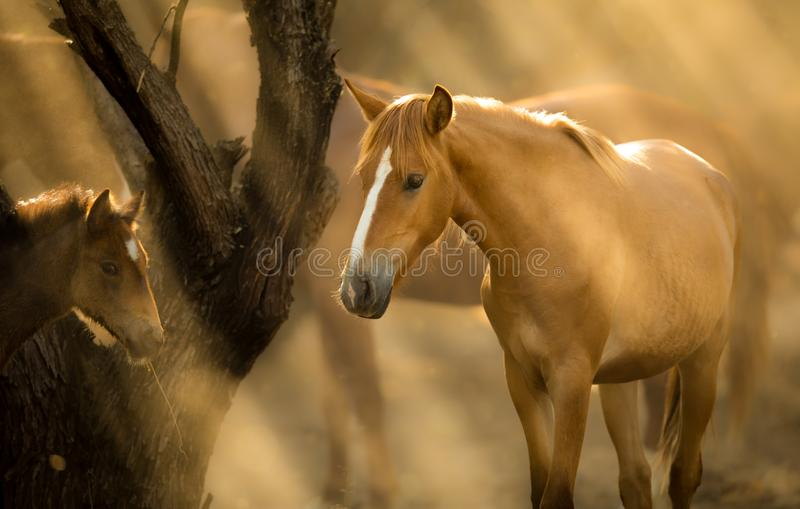 Wild Horses, Mother and Foal Mustangs in Salt River, Arizona. Salt River Wild Horses, or Mustangs, in the Tonto National Forest, East of Phoenix in Arizona royalty free stock photography