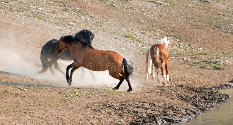 Wild Horses / Mustang Stallions fighting in the Pryor Mountains Wild Horse Range on the state border of Wyoming and Montana USA. Wild Horses / Mustang Stallioins royalty free stock photo